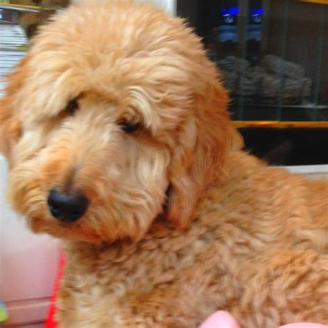 goldendoodle puppy nutrition 1000 images about snickerdoodles goldendoodles on