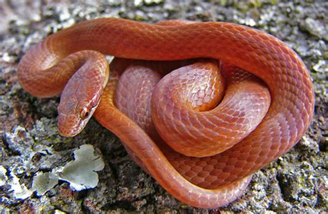 copper colored snake non poisonous snakes of florida phillip s world