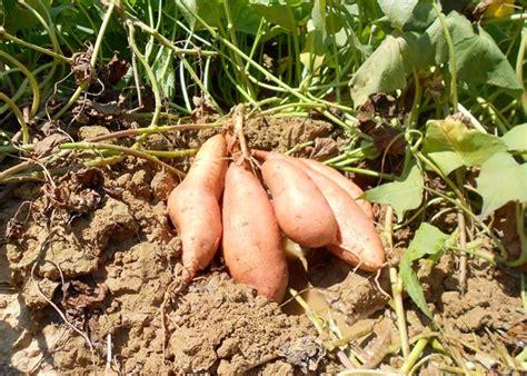 sweet potato farming information guide agri farming
