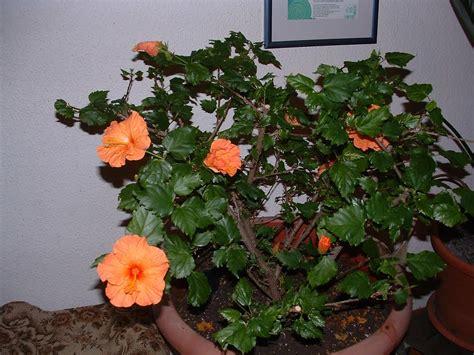 hibiskus kaufen hibiskus kaufen hibiskus 39 39 - Hibiskus Zimmerpflanze Kaufen