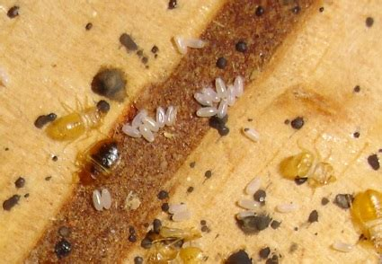 what does a bed bug egg look like pictures of what bed bugs look like photos of bed bug bites