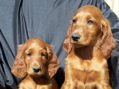 setter puppies for sale in michigan puppies for sale setters in iron mt michigan breeds picture