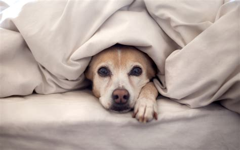 animal in bed should you share your bed with your dog dogbuddy blog