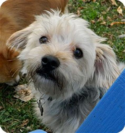 miniature poodle and yorkie mix alfie adopted conesus ny poodle miniature yorkie terrier mix