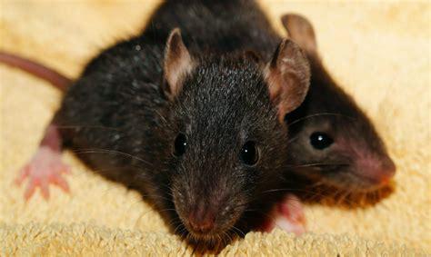 come eliminare topi in casa topi in casa come eliminare questi piccoli intrusi con