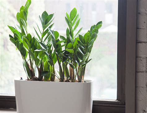 interior plant 10 best indoor plants for men gear patrol
