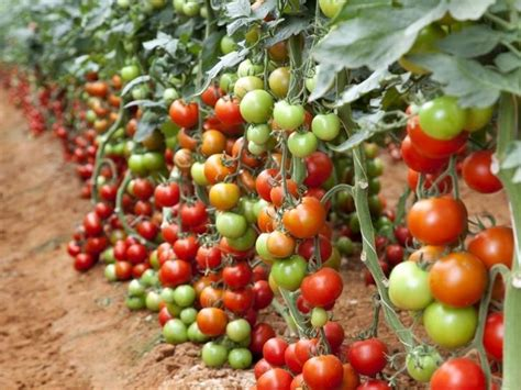 coltivare marijuana vaso come coltivare il pomodoro in inverno pomodoro