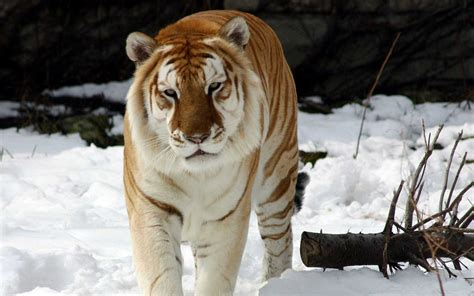 strange snow tiger wallpapers hd wallpapers id