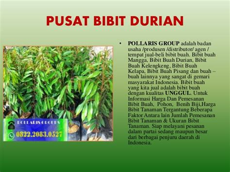 Bibit Kelengkeng Jakarta jual bibit durian musang king jakarta jual bibit durian
