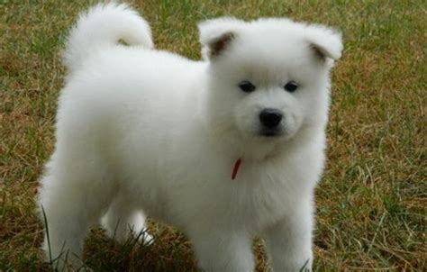 puppies now samoyed puppies ready now offer