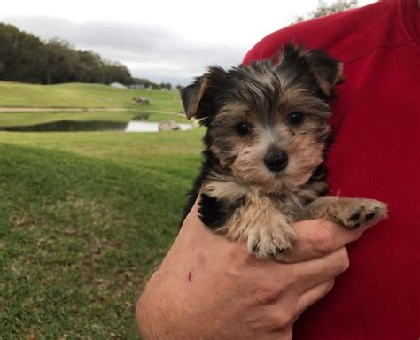 house a yorkie tips black and yorkie poo for sale quot benji quot micheline s pups