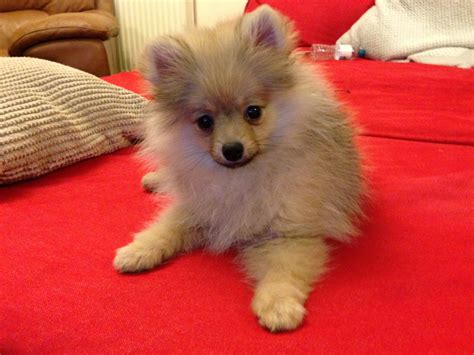 wanted pomeranian puppy kc reg pomeranian puppy boy southall middlesex pets4homes