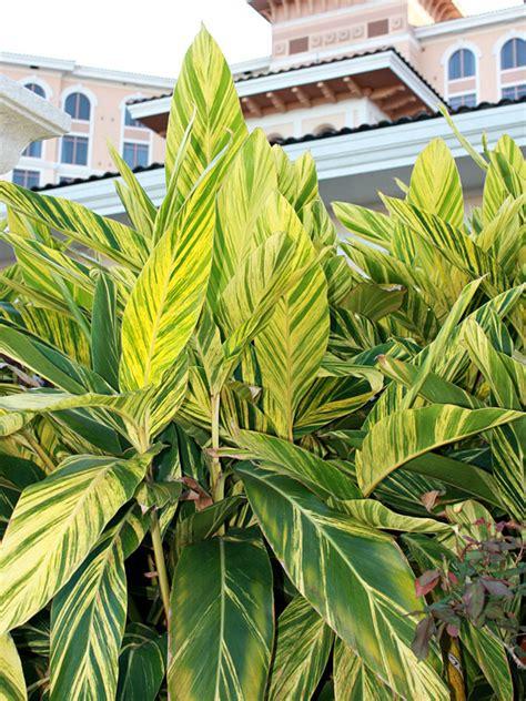 lg variegated shell ginger plant alpinia  variegata