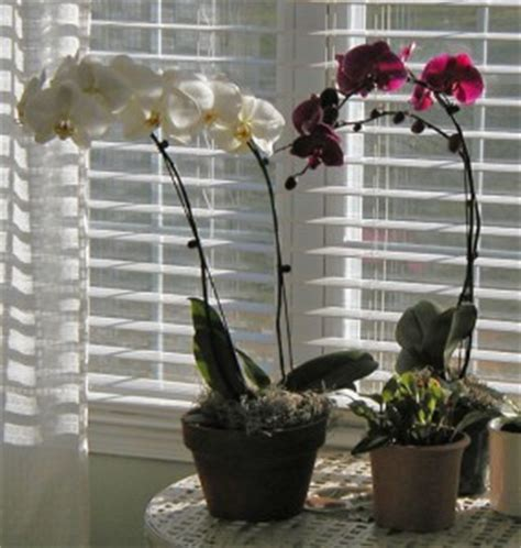 growing hydroponic orchids orchidsmadeeasycom