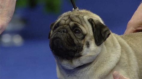 show pug pug nbc sports