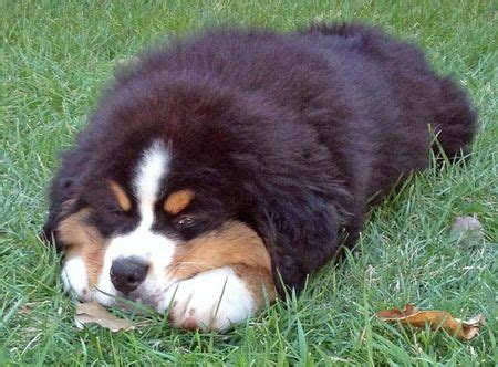 st bernese mountain puppy 25 best ideas about bernese mountain breeders on bernese mountain