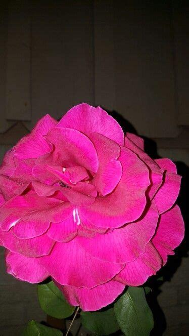 imagenes rosa luto de juarez m 225 s de 25 ideas incre 237 bles sobre rosa de luto en pinterest