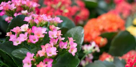 top 28 are kalanchoe plants poisonous to cats is