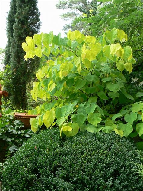 cercis canadensis hearts of gold p l a n t s pinterest gardens trees and sun