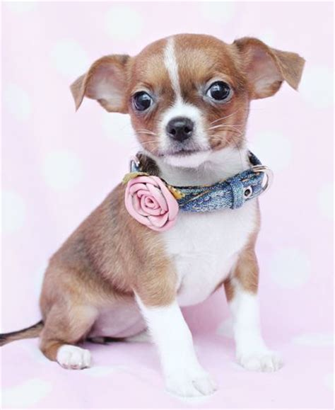 teapot pomeranian for sale 17 best images about teacup chihuahuas and chihuahua puppies on chihuahuas