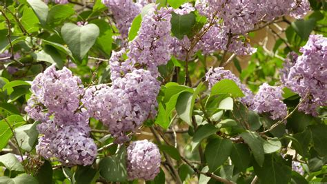 lilacs bush mlewallpapers com lilac bush
