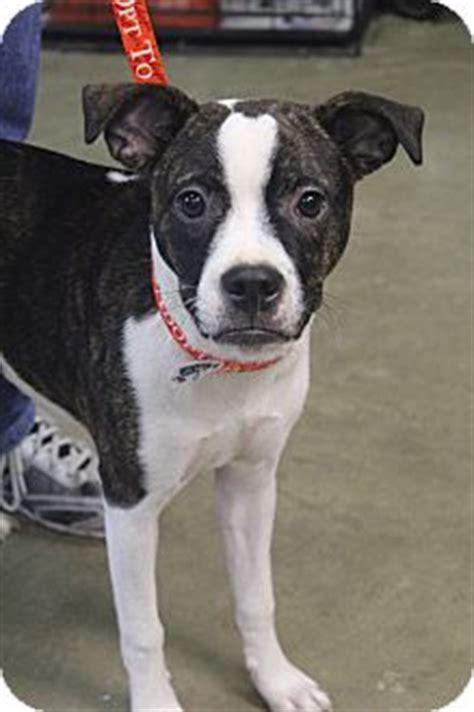 boxer boston terrier mix puppies izabelle adopted puppy bedminster nj boxer boston terrier mix