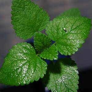 tips on growing mint in the garden