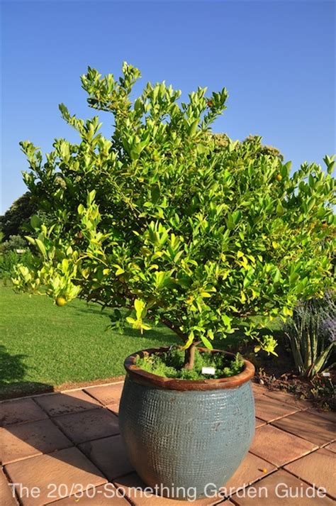 tree container dreaming of citrus trees the 20 30 something garden