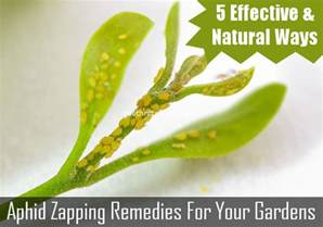 Getting Rid Of Garden Pests - ways to get rid of aphids in your garden 5 natural and effective solutions