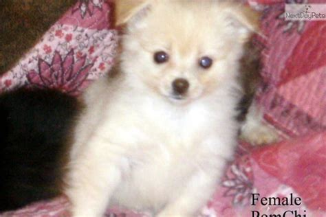 pomchi puppies pomchi puppies breeds picture