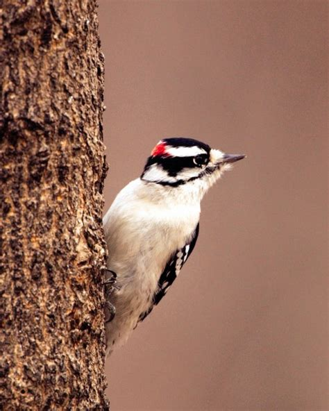 here s why a woodpecker pecks home and garden