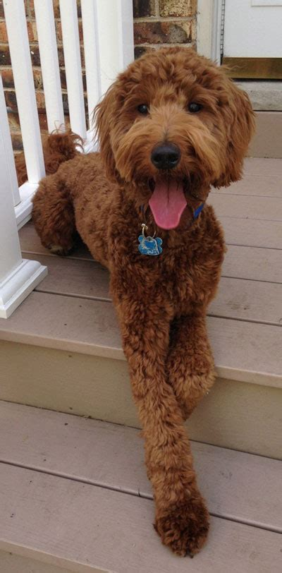 goldendoodle puppy in michigan goldendoodle puppies in michigan by view