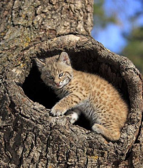 adopt a pet bobcat needs a home insidehalton com 16 best lynxs are my fav images on pinterest lynx big
