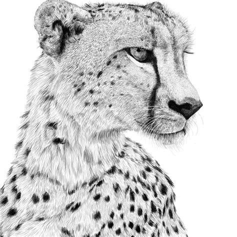 sketchbook cheetah animal sketches stuart hogton