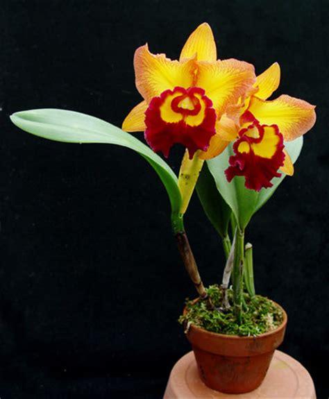 Catleya Dewasa october 2012 orkid 233 page 2