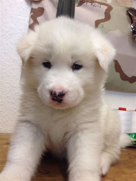 huskita puppies for sale huskita puppies colchester essex pets4homes