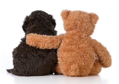 breed that looks like a teddy 10 dogs that look like teddy bears pet care facts