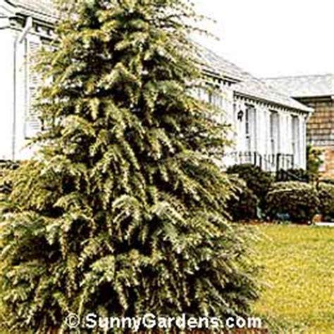 cedrus deodara deodar cedar california christmas tree
