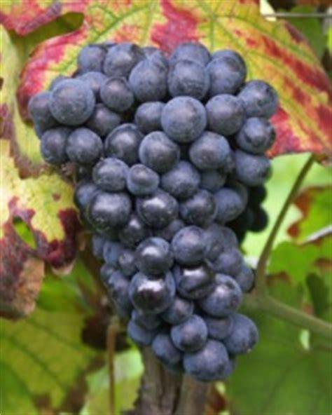 imagenes de uvas y viñedos pinot meunier