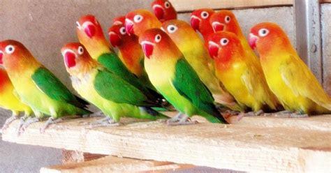 info ternak cara beternak burung love bird bagi pemula info terbaru 2017
