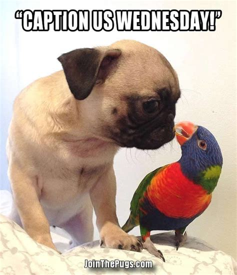 pugs with captions join the pugs gt caption us wednesday