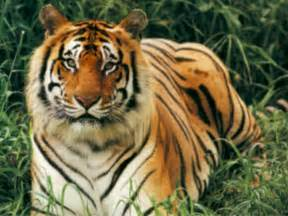 amazon big black friday sale is now live bengal tiger images amp pictures becuo