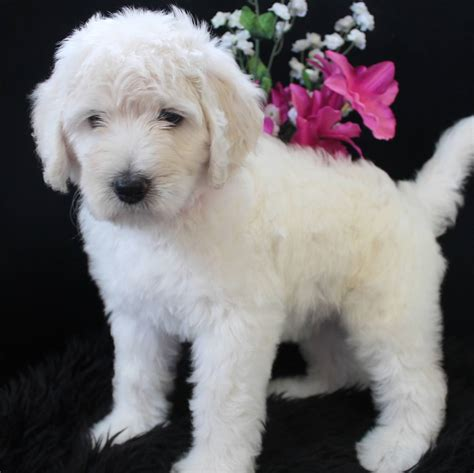 goldendoodle puppy biting white goldendoodle puppies www pixshark images