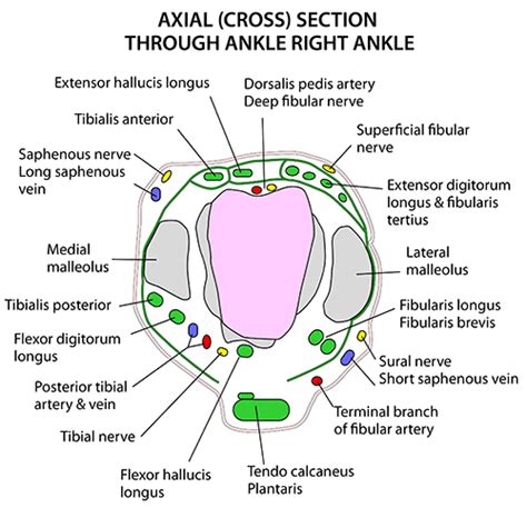cross section of leg instant anatomy lower limb areas organs ankle