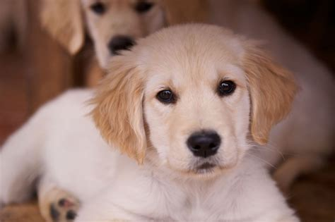 purebred golden retriever puppy golden retriever puppy purebred breeds picture