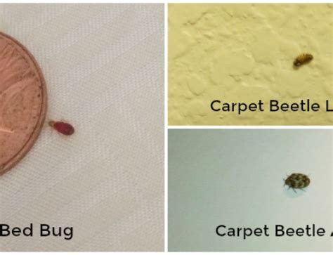 tell me about bed bugs better bed bugs information thrasher termite pest control