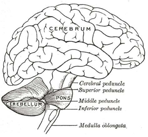 cross section meaning in urdu cerebellum wikipedia