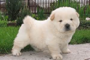 Puppies For Sale Chow Chow Puppies For Sale Bazar