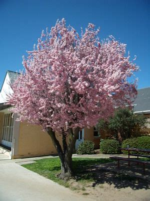 cherry tree utah flowering plum tree trees trees and plum tree