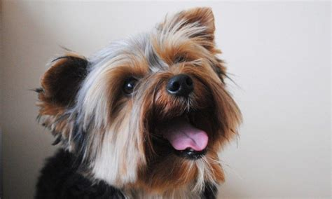 blue and yorkie blue and kc registered terrier harrow middlesex pets4homes
